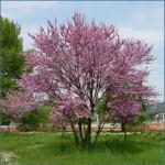 Il giardino biblico, l'albero di Giuda dans Bibbia (dalla) cose curiose e belle albero_di_giuda_big1-150x150