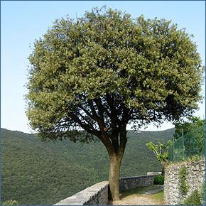 Il giardino biblico cortona cristiana for Piante da giardino sempreverdi alto fusto